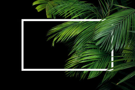 Tropical palm leaves rainforest plant bush nature backdrop with white frame lay out on black background. Banco de Imagens