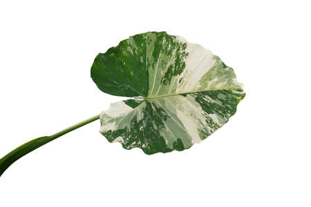 Heart shaped variegated leaf of Elephant Ears or Variegated Alocasia (Alocasia macrorrhiza variegata), rare tropical foliage plant isolated on white background with clipping path. Banco de Imagens