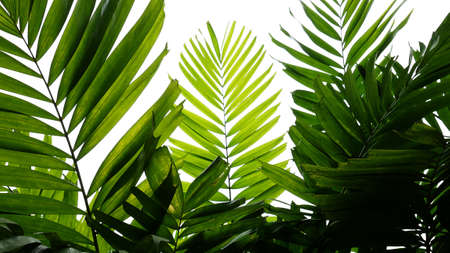 Tropical palm leaves nature pattern, evergreen plant on white background.