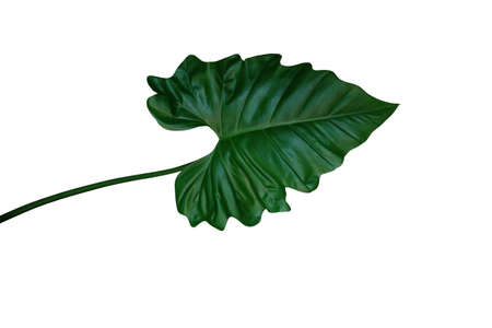 Dark green leaf of Philodendron species (Philodendron speciosum) the tropical foliage climbing plant isolated on white background, clipping path included.