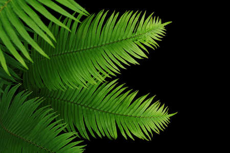 Tropical rainforest green leaves fern foliage plant on black background.