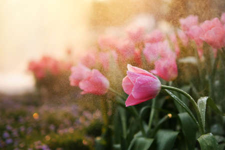 Close-up of beautiful pink tulip spring flower with water drops in garden of evening mist with spraying water on blurred flower field background in warm tone morning or evening sunlight.