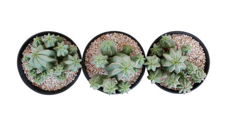 Top view of three small potted cactus succulent Tanzanian Zipper plant (Euphorbia anoplia) the chunky green stemless succulent with similar look of a cactus isolated on white, clipping path included.