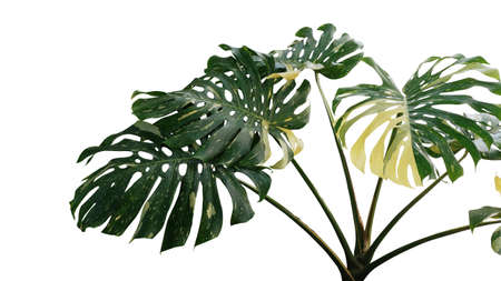 Variegated green yellow leaves of Monstera or split-leaf philodendron (Monstera deliciosa) the tropical foliage plant, popular indoor houseplant isolated on white background with clipping path.
