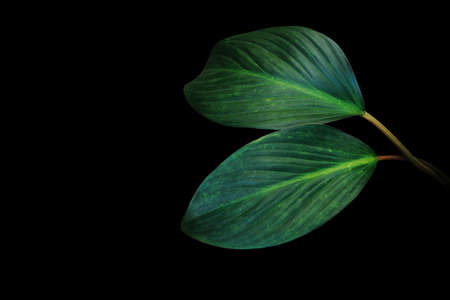 Dark green leaves of tropical foliage plant growing in wild isolated on black background. Banco de Imagens