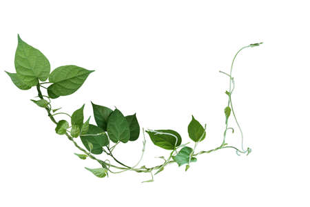Twisted jungle vines liana plant with heart shaped green leaves isolated on white background, clipping path included.