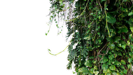 Split-leaf philodendron Monstera and variegated leaves Devil's ivy pothos liana plants climbing on tree trunk, tropical forest plant jungle vines bush isolated on white background with clipping path. Banco de Imagens