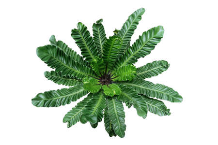 Top view of rare tropical foliage houseplant Bird's nest fern 'Cobra' or Cobra plant (Asplenium nidus) with pleated or wavy green leaves isolated on white background, clipping path included. Banco de Imagens