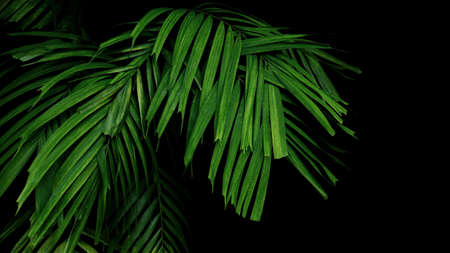 Green jungle leaves palm frond tropical foliage plant on black background.