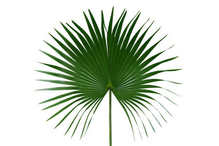 Palm with circular leaves or Fan palm frond tropical leaf nature green pattern isolated on white background, clipping path included. Banco de Imagens