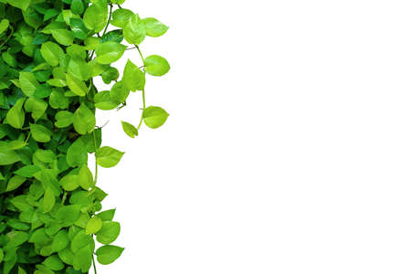 Nature frame border of heart shaped green yellow leaves vine Devils ivy or golden pothos, tropical foliage plant isolated on white background with clipping path. Banco de Imagens