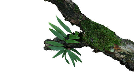 Epiphytic green leaves fern and mosses grow on old weathered jungle tree branch in tropical rainforest isolated on white bacground, clipping path included.