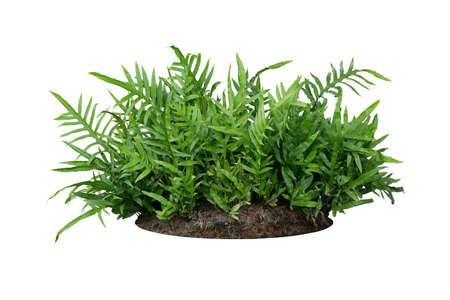 Grüne Blätter Hawaiian Laua'e Farn oder Wart Farn tropischer Laubpflanzenbusch auf dem Boden mit totem Pflanzenhumus isoliert auf weißem Hintergrund, Beschneidungspfad enthalten.