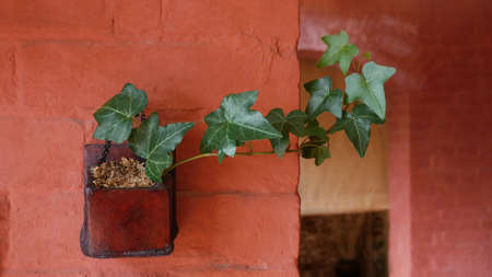 Green leaves English ivy evergreen vine indoor potted plant on orange color brick wall background.