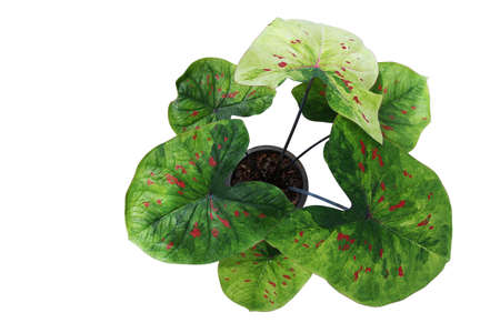 Top view of fancy leaf Caladium potted plant, heart shaped green variegated leaves with red spots tropical foliage houseplant isolated on white background with clipping path. Banco de Imagens