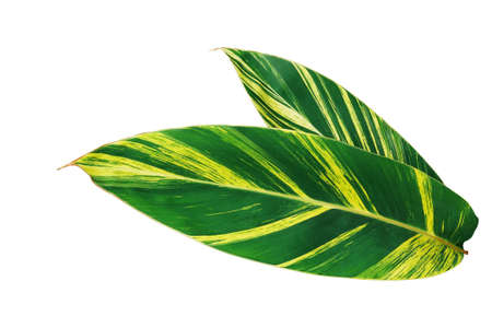 Green and yellow leaves nature pattern of variegated ginger or shell ginger (Alpinia zerumbet variegata) tropical foliage plant isolated on white background, clipping path included.