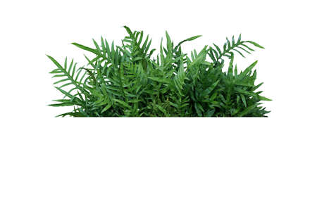 Green leaves Hawaiian Lauae fern or Wart fern tropical foliage plant bush nature backdrop isolated on white background, clipping path included. Banco de Imagens