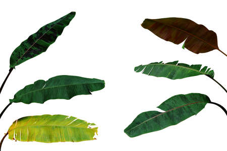 Multicolor variegated leaves set of ornamental banana tropical foliage plant growing in wild isolated on white background, clipping path included. 版權商用圖片