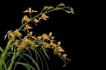 Golden yellow Cymbidium orchid with green leaves, tropical flower plant isolated on black background with clipping path.