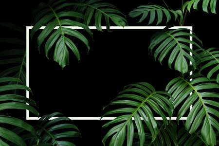 Tropical leaves nature frame layout of dark green leaf native Monstera the forest plant with white frame on black background.