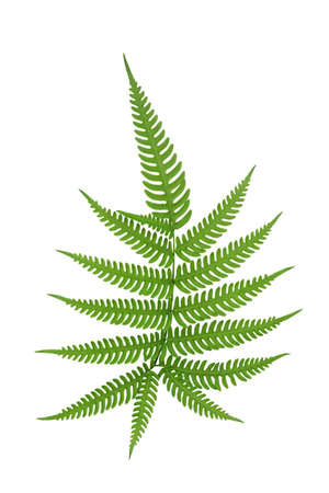 Green leaves fern frond tropical rainforest foliage plant isolated on white background, clipping path included.