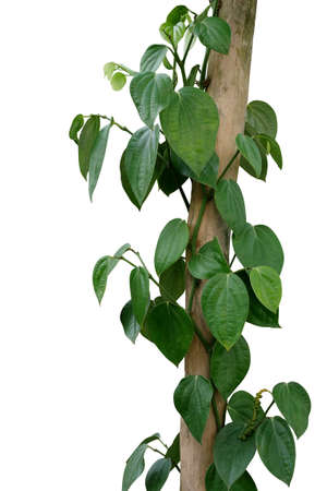 Green leaves pepper vine plant with green peppercorns climbing and twist around wooden pole or dried tree trunk isolated on white background, clipping path included. Banco de Imagens