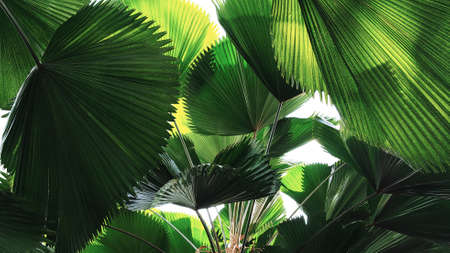 Tropical leaves rainforest fan palm leaf pattern, abstract green nature background.