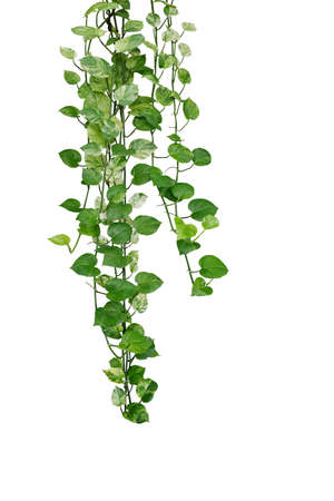 Hanging pothos or devils ivy vines liana plant with green and variegated leaves (Epipremnum aureum 'Marble Queen Pothos'), tropical foliage houseplant isolated on white background with clipping path.