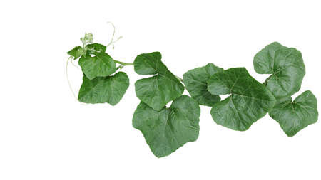Pumpkin trailing vine plant with green leaves and tendrils isolated on white background, clipping path included. Banco de Imagens