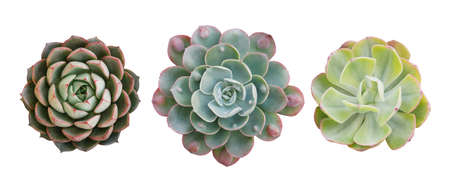 Top view of small potted cactus succulent plants, set of three various types of Echeveria succulents including Raindrops Echeveria (center) isolated on white background with clipping path. Banco de Imagens
