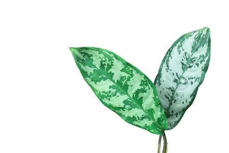 Green variegated leaves pattern of Chinese evergreen plant (Aglaonema) the tropical foliage popular houseplant isolated on white background, clipping path included. Banco de Imagens