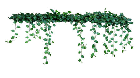 Plant bush with hanging vines of green variegated heart-shaped leaves Devil's ivy or golden pothos (Epipremnum aureum) the tropical foliage houseplant isolated on white background with clipping path.