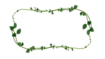 Nature frame layout of heart shaped green succulent leaves climbing vine plant Malabar spinach or Creeping vine spinach (Basella alba) isolated on white background, clipping path included. Banco de Imagens