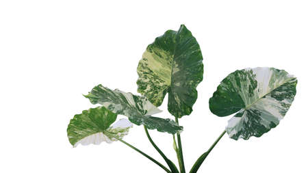 Heart shaped variegated leaves of Elephant Ears or Variegated Alocasia (Alocasia macrorrhiza variegata), rare tropical foliage plant isolated on white background with clipping path. Banco de Imagens
