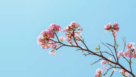 Pink flowers of Pink Tecoma or Rosy trumpet tree (Tabebuia rosea) on tree branch against light blue sky background.
