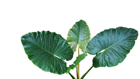 Heart shaped dark green leaves of Elephant Ear or Giant Taro (Alocasia macrorrhizos), tropical rainforest plant isolated on white background with clipping path.