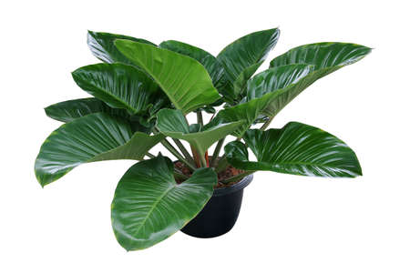 Heart shaped dark green leaves of philodendron tropical foliage plant bush in black plastic flowerpot, popular houseplant isolated on white background with clipping path.