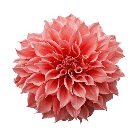 Fiore rosa-arancio alla moda o corallo della dalia la pianta da giardino tuberosa isolata su fondo bianco con il percorso di ritaglio.