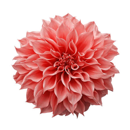 Trendy pink-orange or coral colored Dahlia flower the tuberous garden plant isolated on white background with clipping path. Banco de Imagens
