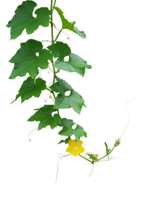 Hanging hairy vine pumpkin plant with green leaves, yellow flowers and tendrils isolated on white background with clipping path.