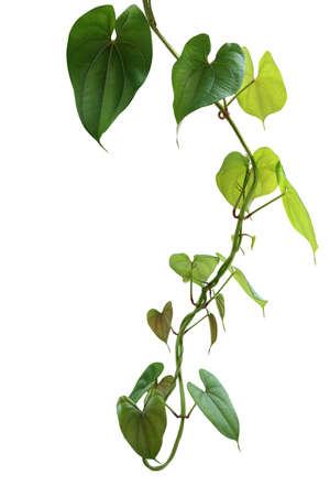 Hanging twisted vine liana plant with heart shaped green brownish leaves of purple yam or winged yam (Dioscorea alata) the tropic forest climber plant isolated on white background with clipping path.