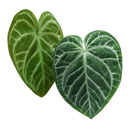 Heart-shaped green variegated leaves pattern of rare Anthurium plant the tropical foliage houseplant isolated on white background, clipping path included.