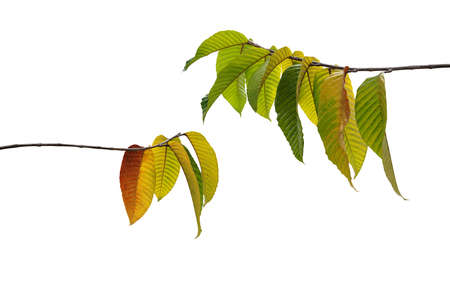 Multicolor autumn leaves or fall foliage on forest tree twigs nature layout isolated on white background, clipping path included. Banco de Imagens