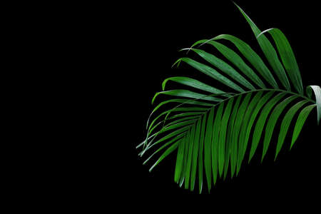 Tropical rainforest palm leaves foliage plant growing in wild isolated on black background. Banco de Imagens