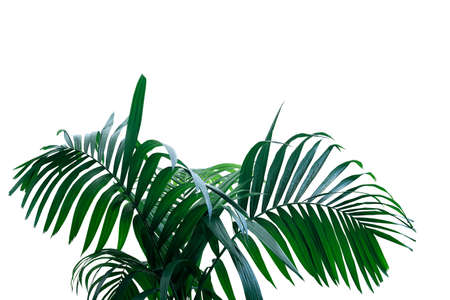 Dark green leaves of rainforest palm tree the tropical foliage plant isolated on white background, clipping path included. Banco de Imagens - 130160580