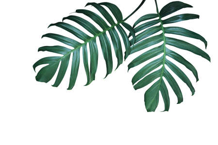 Dark green leaves of native Monstera (Epipremnum pinnatum) the tropical foliage forest plant isolated on white background with clipping path. Banco de Imagens - 130160581