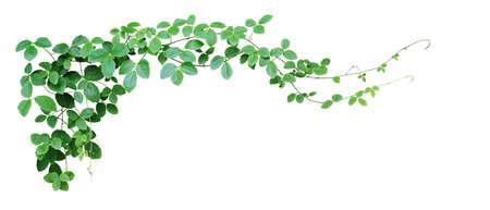 Bush grape or three-leaved wild vine cayratia (Cayratia trifolia) liana ivy plant bush, nature frame jungle border isolated on white background, clipping path included. Archivio Fotografico - 130160583
