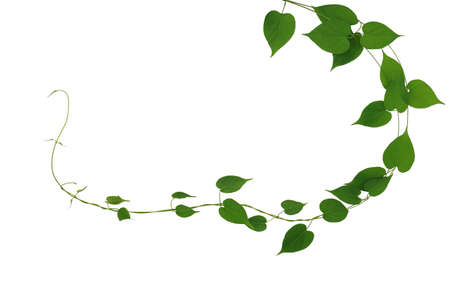 Twisted jungle vines liana plant with heart shaped green leaves nature frame layout isolated on white background, clipping path included. Archivio Fotografico - 130160588