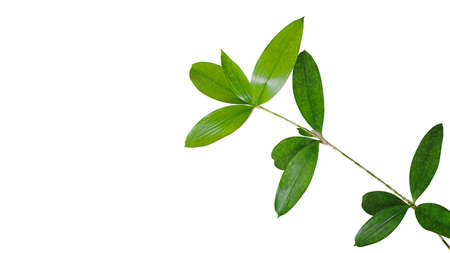 Green leaves branch of Japanese bamboo plant (Dracaena surculosa) the ornamental foliage houseplant isolated on white background, clipping path included.