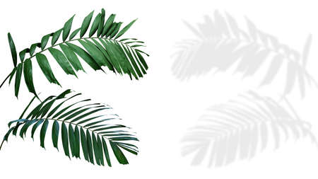 Ornamental palm leaves (Kentia palm or Howea species) the tropical foliage plant isolated on white background with clipping path, palm fronds shadow included. Banco de Imagens